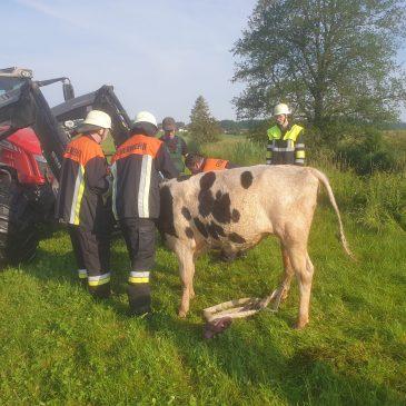 Wasserrettung einer Kuh